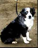 Patchwork Farms Home Page - Breeders of Miniature Australian Shepherds